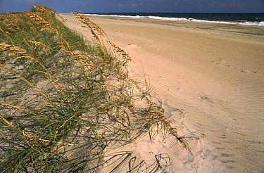 Coastal dunes with Sea Oats, Pea Island National Wildlife Refuge, Outer Banks, North Carolina  -  Gerry Ellis