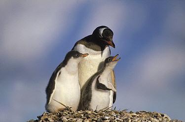 Gentoo Penguin (Pygoscelis papua) parent and chicks begging for food on nest, South Georgia Island  -  Gerry Ellis