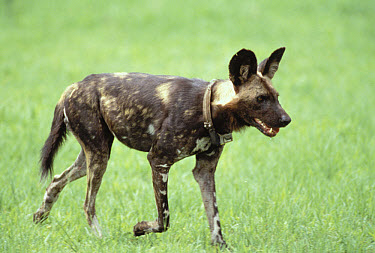 African Wild Dog (Lycaon pictus) male with tracking collar, Moremi Wildlife Reserve, Botswana  -  Gerry Ellis