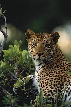 Leopard (Panthera pardus) female resting in tree, Moremi Wildlife Reserve, Botswana  -  Gerry Ellis