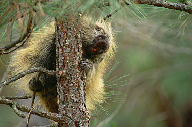 Common Porcupine (Erethizon dorsatum) climbing tree, North America  -  Gerry Ellis