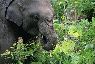 Asian Elephant (Elephas maximus) feeding on rainforest vegetation, India  -  Gerry Ellis