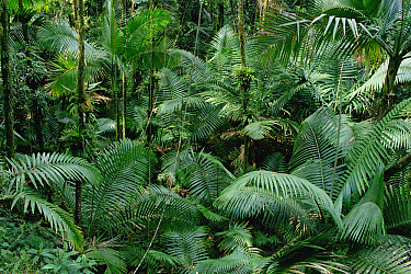 Montane palm forest dominated by palm plants, El Yunque National Forest, Puerto Rico  -  Gerry Ellis