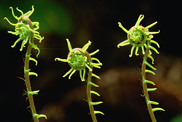 Deer Fern (Blechnum spicant) fiddleheads, Pacific coast, North America  -  Gerry Ellis