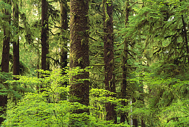Temperate rainforest, Queets River Valley, Olympic National Park, Washington  -  Gerry Ellis