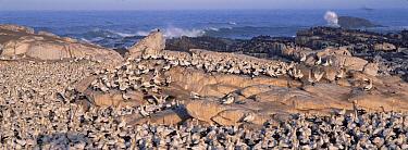 Cape Gannet (Morus capensis) nesting colony, Lambert's Bay, South Africa  -  Gerry Ellis