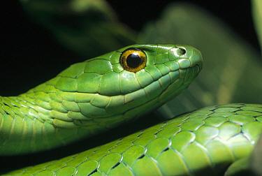 Natal Green Snake (Philothamnus natalensis) portrait, Ndumo Game Reserve, South Africa  -  Gerry Ellis