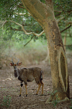 Nyala (Tragelaphus angasii) male standing under a tree, Ndumo Game Reserve, South Africa  -  Gerry Ellis