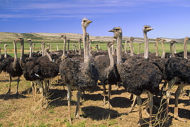 Ostrich (Struthio camelus) females in large commercial farm, near Kruldfontein, western South Africa