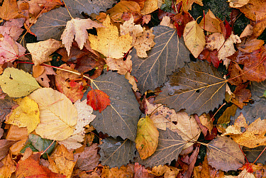 Fall leaves on forest floor, eastern hardwood forest, Allegheny National Forest, Pennsylvania  -  Gerry Ellis