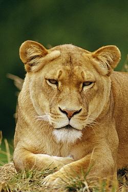 African Lion (Panthera leo) female portrait, Masai Mara National Reserve, Kenya  -  Gerry Ellis