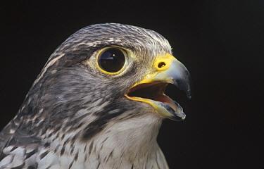 Gyrfalcon (Falco rusticolus) portrait, North America  -  Gerry Ellis