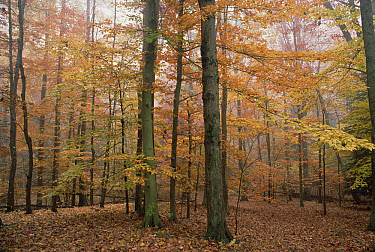 Fall colors in eastern hardwood forest, Catoctin Mountain Park, Maryland  -  Gerry Ellis