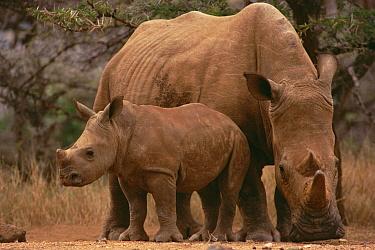 White Rhinoceros (Ceratotherium simum) mother with calf, Lewa Wildlife Conservancy, Kenya  -  Gerry Ellis
