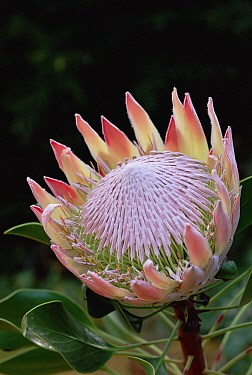 King Protea (Protea cynaroides) bract and flower, native to South Africa
