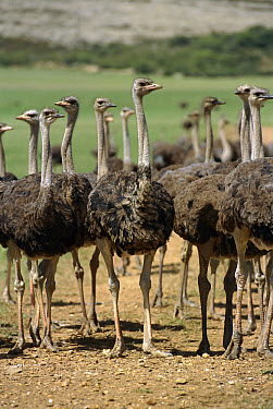 Ostrich (Struthio camelus) group in large commercial farm near Kkruldfontein, western South Africa  -  Gerry Ellis