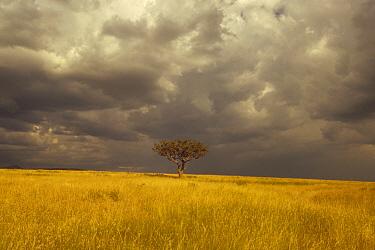 Whistling Thorn (Acacia drepanolobium) trees in open grasslands, Masai Mara National Reserve, Kenya  -  Gerry Ellis