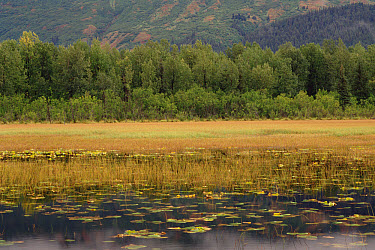 American Beaver (Castor canadensis) pond with water lilies and forest, Chugach National Forest, Alaska  -  Gerry Ellis
