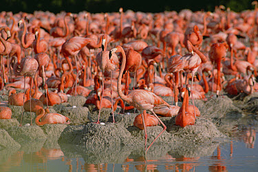 Greater Flamingo (Phoenicopterus ruber) nesting colony with mud nests, Inagua National Park, Bahamas  -  Gerry Ellis