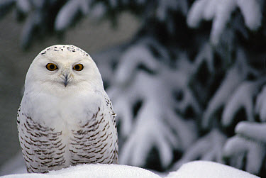 Snowy Owl (Nyctea scandiaca) camouflaged against snow, North America  -  Gerry Ellis