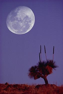 Grass Tree (Xanthorrhoea preissii) and full moon, Flinders Range National Park, Australia  -  Gerry Ellis