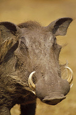 Cape Warthog (Phacochoerus aethiopicus) portrait, Kenya  -  Gerry Ellis