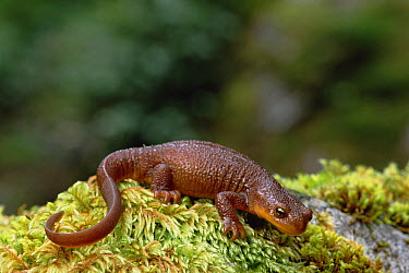 Rough-skinned Newt (Taricha granulosa) portrait, Siskiyou National Forest, Oregon  -  Gerry Ellis