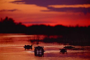 Hippopotamus (Hippopotamus amphibius) group in river at sunset, Moremi Wildlife Reserve, Linyanti River, Botswana  -  Gerry Ellis