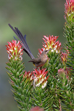 Cape Sugarbird (Promerops cafer) male perching on Protea flowers (Mimetes protea), Kirstenbosch Garden, South Africa  -  Gerry Ellis