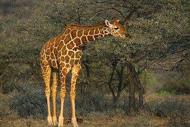 Reticulated Giraffe (Giraffa reticulata) browsing on Acacia (Acacia drepanolobium) trees, Lewa Wildlife Conservancy, Kenya  -  Gerry Ellis