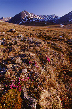 Moss-campion blooming on tundra, overlooking Sadlerochit Mountains, Arctic National Wildlife Refuge, Alaska  -  Gerry Ellis