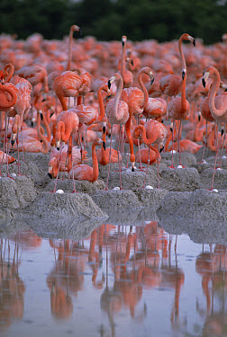 Greater Flamingo (Phoenicopterus ruber) group at waters edge, Inagua National Park, Bahamas  -  Gerry Ellis