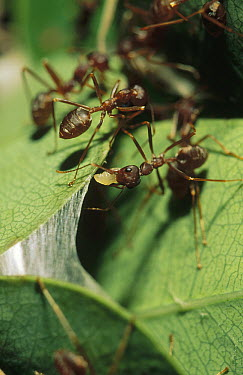 Weaver Ant (Oecophylla longinoda) workers using larvae silk to weave nest from Water Berry (Syzygium cordatum) leaves, Maputaland Coastal Forest Reserve, South Africa  -  Gerry Ellis
