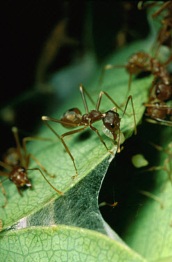 Weaver Ant (Oecophylla longinoda) workers using larvae silk to weave nest from water berry leaves, Maputaland Coastal Forest Reserve, South Africa  -  Gerry Ellis