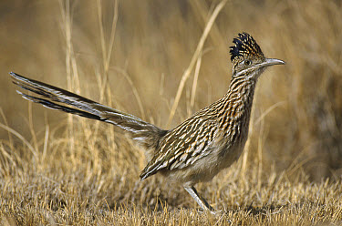 Greater Roadrunner (Geococcyx californianus), Bosque del Apache National Wildlife Refuge, New Mexico  -  Gerry Ellis