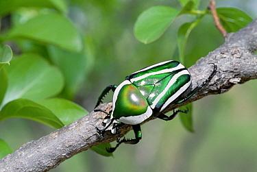 Emerald Fruit Chafer Beetle (Dicronorrhina derbyana) on branch, Zambezi National Park, Zimbabwe  -  Gerry Ellis