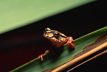 Painted Reed Frog (Hyperolius marmoratus) clinging to leaf, Ndumo Game Reserve, South Africa  -  Gerry Ellis