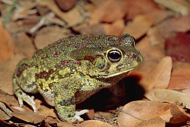 Tremolo Sand Frog (Tomopterna cryptotis) among leaves on rainforest floor, Matetsi safari area, Zimbabwe  -  Gerry Ellis