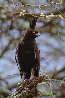 Long-crested Eagle (Lophaetus occipitalis) perching in Whistling Thorn (Acacia drepanolobium) acacia tree Serengeti National Park, Tanzania  -  Gerry Ellis
