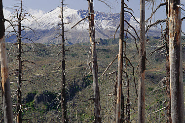 Crater and summit seen thru 1980 eruption damaged forest, Mount St Helens National Volcanic Monument, Washington  -  Gerry Ellis