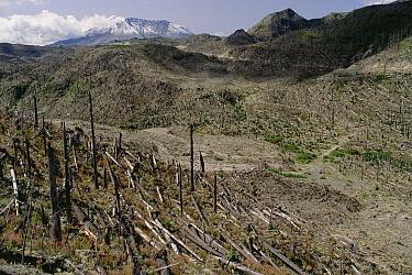 Eruption destruction, Bean Creek Valley, Mount St Helens National Volcanic Monument, Washington  -  Gerry Ellis