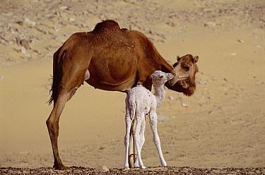 Dromedary (Camelus dromedarius) camel mother with two day old baby, Oasis Dakhia, Sahara, Egypt  -  Gerry Ellis