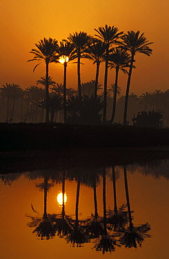 Date Palm (Phoenix reclinata) cluster along the Nile River at sunrise, near Cairo, Egypt  -  Gerry Ellis