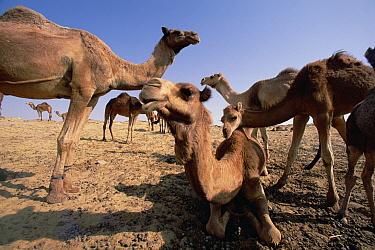 Dromedary (Camelus dromedarius) camels, Oasis Dakhia, Sahara, Egypt  -  Gerry Ellis