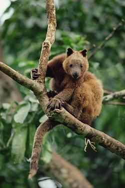 Doria's Tree Kangaroo (Dendrolagus dorianus) montane forest, Papua New Guinea  -  Gerry Ellis
