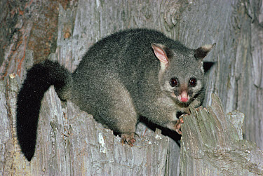 Common Brush-tailed Possum (Trichosurus vulpecula) portrait, south and east Australia  -  Gerry Ellis