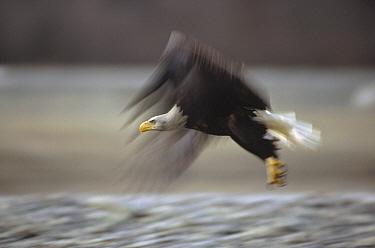 Bald Eagle (Haliaeetus leucocephalus) flying, Alaska  -  Gerry Ellis