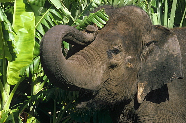 Asian Elephant (Elephas maximus) curling trunk, India