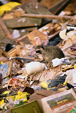 Raccoon (Procyon lotor) in garbage dump, central and North America  -  Gerry Ellis