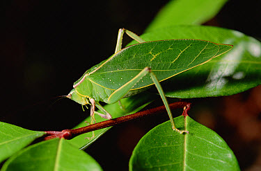 Green Leaf-mimic Katydid (Steirodon robertsorum) on stem, camouflaged amongst leaves, Costa Rica  -  Gerry Ellis